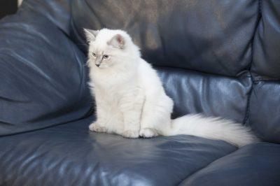 chaton sibérien