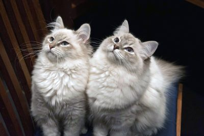 Chats sibériens