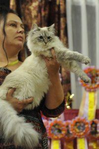chats sibériens, chat sibérien neva masquerade
