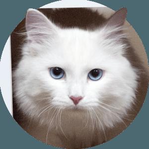 Chat sibérien blanc