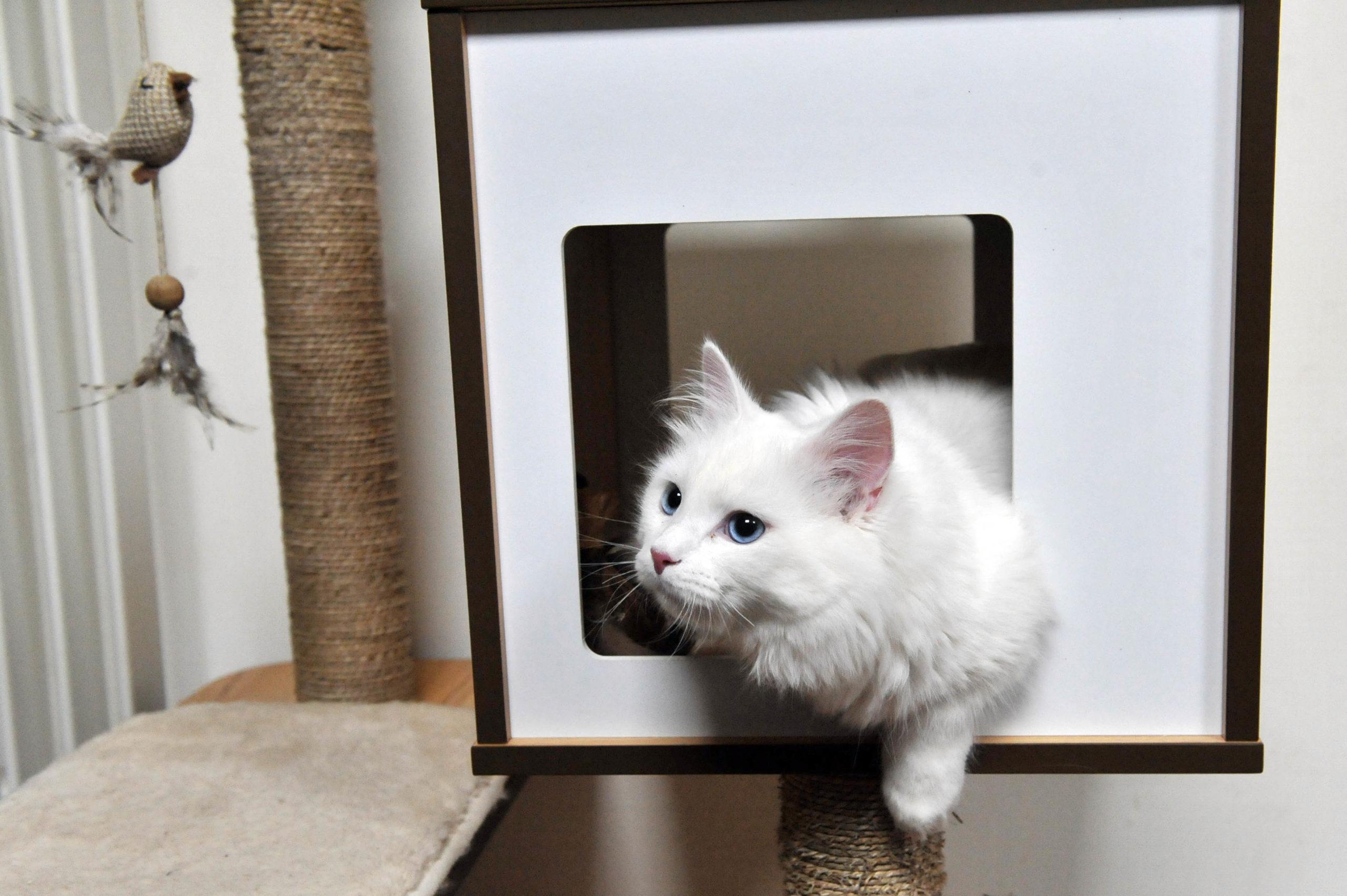 chat sibérien blanc aux yeux bleus