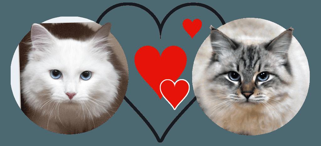 chatons sibériens blancs