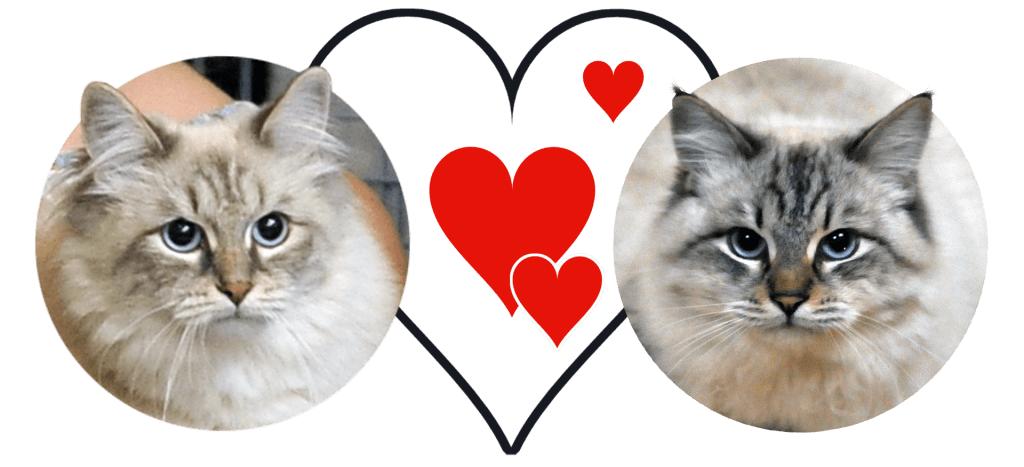 chatons sibériens neva masquerade
