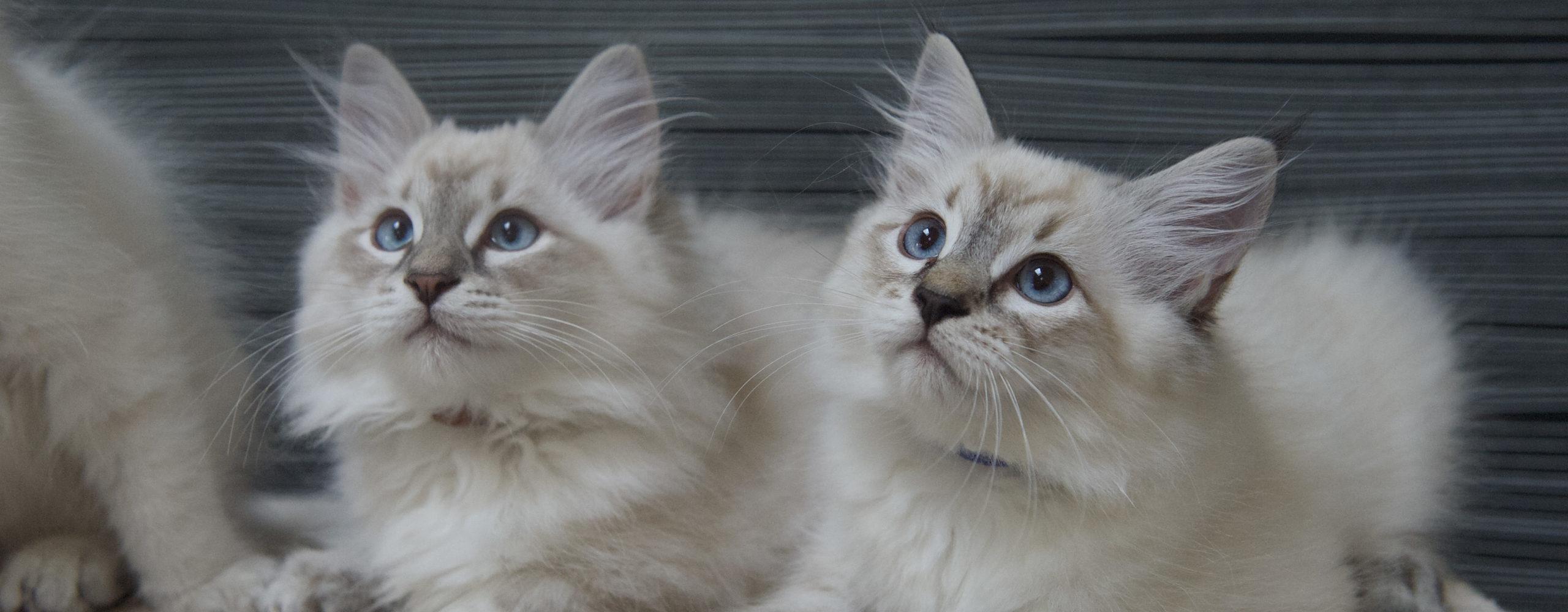 chatons neva masquerade