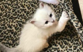chaton sibérien neva masquerade