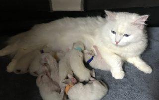 chaton sibérien blanc