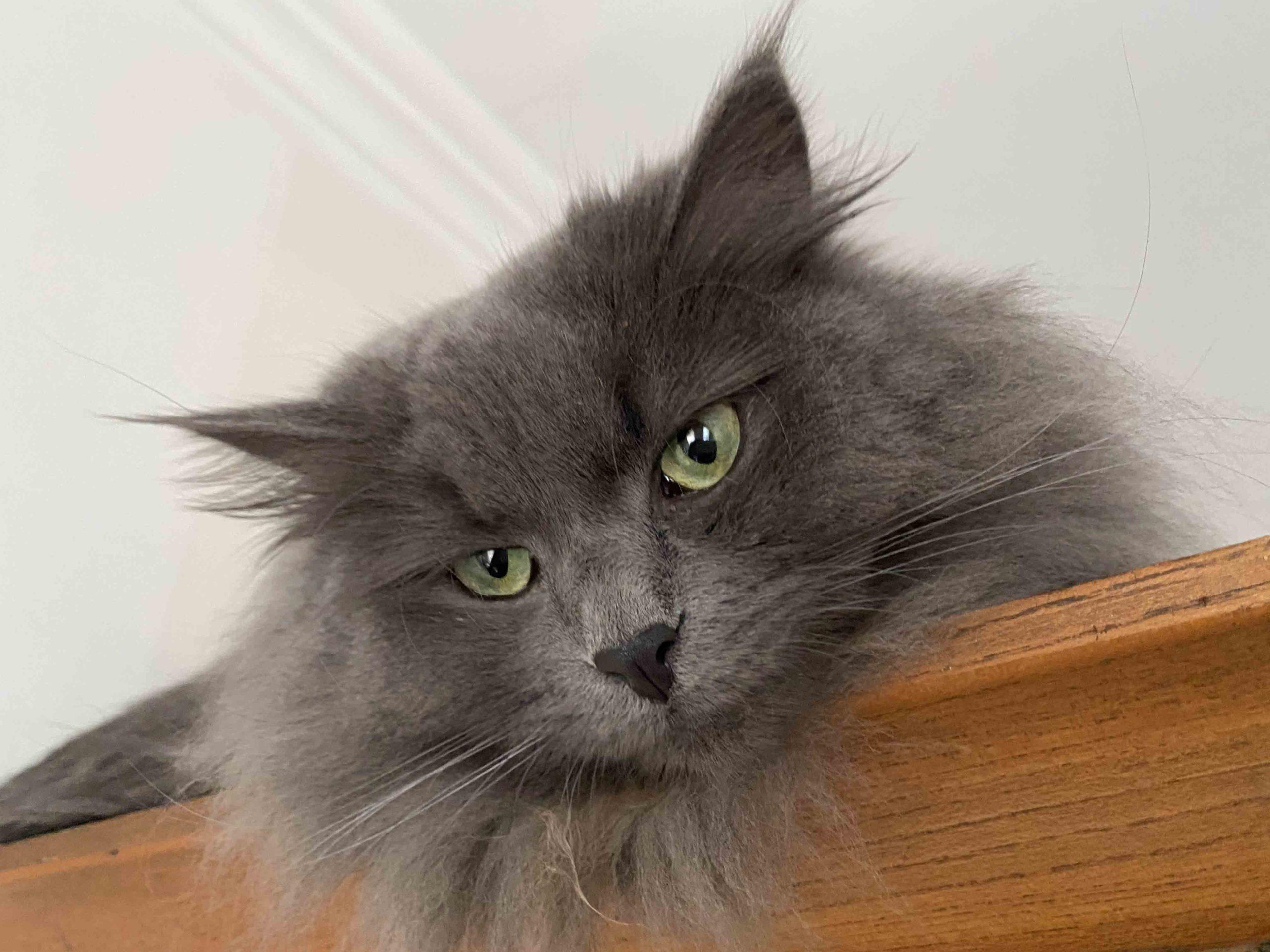 blue siberian cat