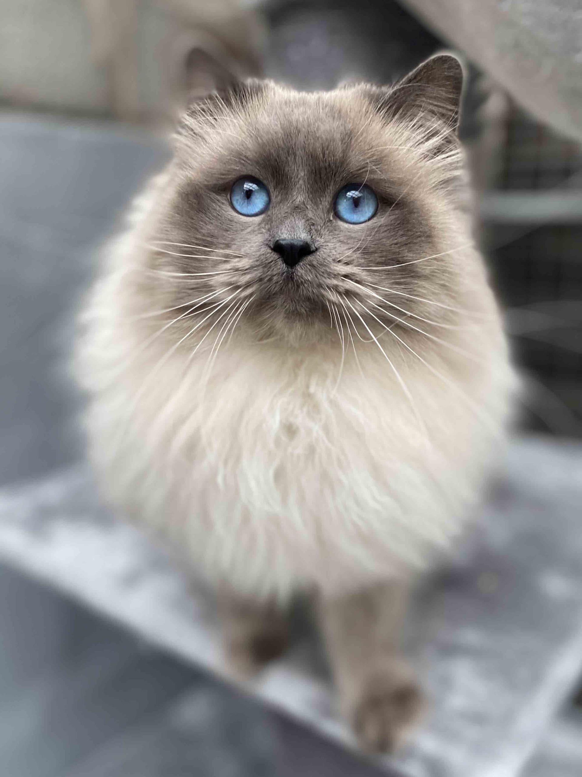 chat sibérien blue point