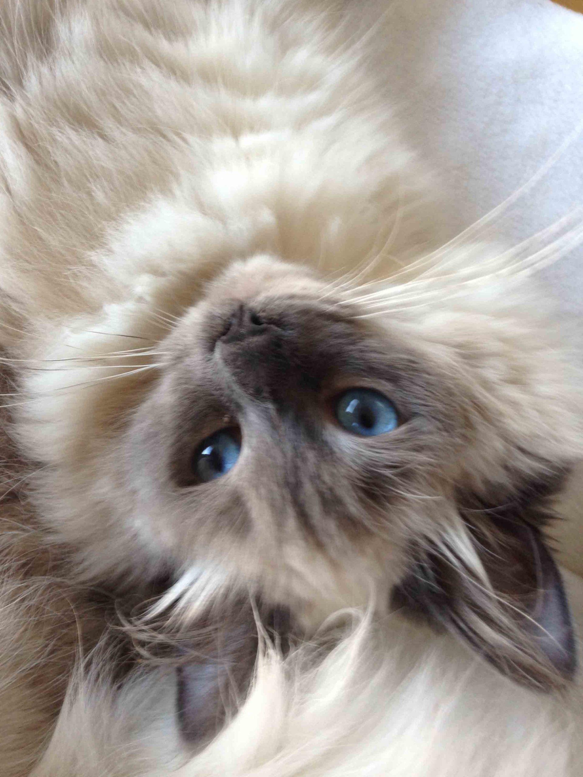 chaton sibérien blue point